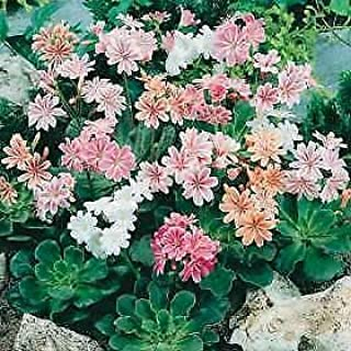 Details About Lewisia Cotyledon Rainbow Mix 1,000 Seeds Need More? Ask