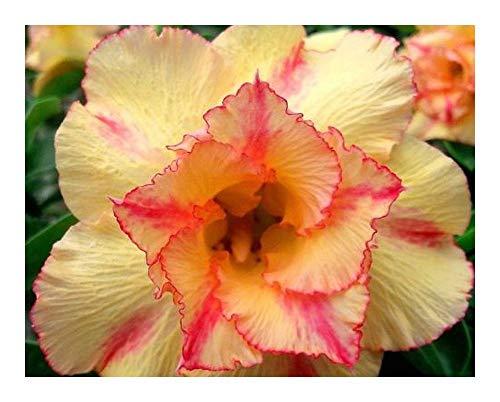 Adenium obesum Orange V - Rose du désert - Faux baobab - 3 graines