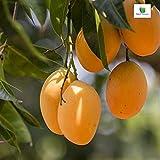 Amazing Store Mphmi Mango, Aam hybrid (Grown through) original kesarmango plants - Plant