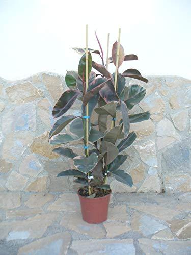 Ficus Elastica, Gummibaum, Ficus, Ficus Tineke - ca. 130-140 cm, eine Pflanze, Zimmerpflanze