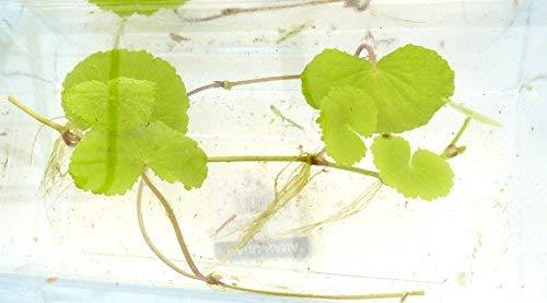 Aquarium Pflanze 3X brasilianischer Wassernabel Hydrocotyle leucocephala