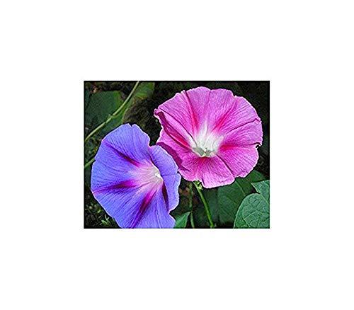 Purpur-Prunkwinde Mix - Ipomoea purpurea - 50 Samen