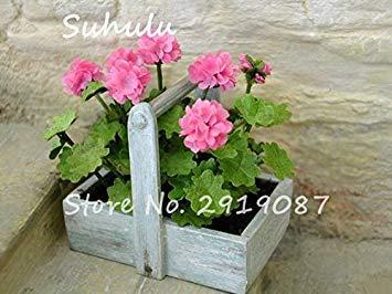 Vistaric 100pcs Rare Mini Geranium Graines Vivaces Belles Fleurs Graines Pelargonium Peltatum Graines disponibles bonsaï mélange en pot couleurs 1