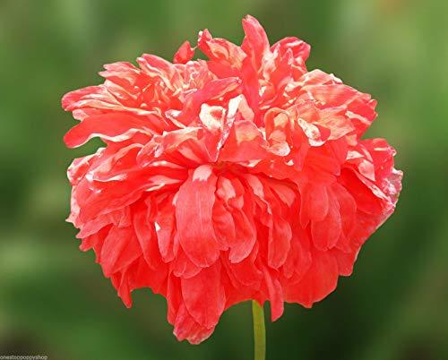 SANHOC 50 Blumensamen Burnt Orange Pfingstrose Mohn Papaver paeoniflorum # 10