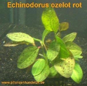 5 Töpfe Echinodorus Ozelot rot, Wasserpflanzen