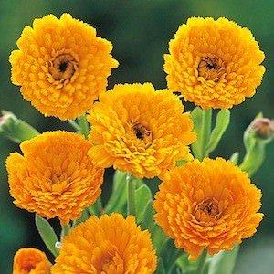 SOW PERFECT Las Semillas de Flor Creativa Farmer: Semillas de Flores Amarillas Genda Caléndula Crecimiento - Semillas jardín de Flores Paquete