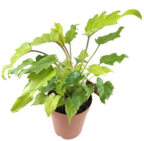 Fangblatt - Philodendron Golden Xanadu - kompakter Baumfreund im Ø 16 cm Topf, ca. 35 cm hoch - wundervolle Grünpflanze für das Büro