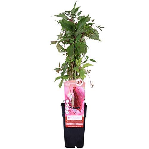 Blumen Senf wilder Wein (Sorte: Parthenocissus quinquefolia)