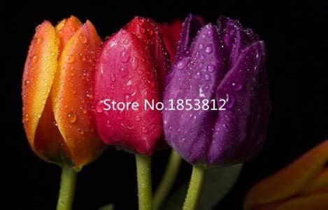 Purple : Sale!500Piece 16 Colors Tulip Seeds 2016 New Garden Flowers Four Season Sowing World Rare Flower Seeds For Garden