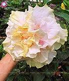 Elitely 30 Stcke Seltene Gelbe Doppel Bltenbltter Riesen Hibiskus Samen E Bonsai Blumensamen Mehrjhrige Garten Blumensamen Einfach Zu Wachsen: