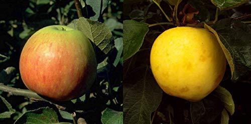 Duo Apfel Obstbaum Apfelbaum James Grieve weißer Klarapfel 100-150 cm im Topf