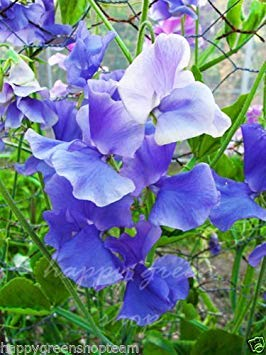 GEOPONICS Pea Royal weet - 20 graines - Flora Norton - Lathyru Odoratu -