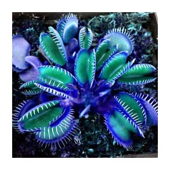 Koffee//Gr/ün//Rosa//Rot Dionaea muscipula fleischfressende Pflanze Keland Garten 50 St/ück Selten Blau Venusfliegenfalle Samen