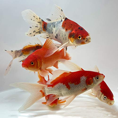 pond fishes Toledo Goldfish Live Shubunkin, Sarasa, and Comet Goldfish Combo for Ponds or Aquariums – USA Born and Raised – Live Arrival Guarantee (3 to 4 inches, 6 Fish, 2 of Each)