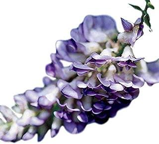 Blue Moon Wisteria Vine - Live Plant - Quart Pot