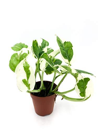 Efeutute | Zimmerpflanze | Epipremnum aureum N\'Joy | Luftreinigend | hängend und rankend | Panschierte Blätter | Topf ⌀6 cm (1, ohne Topf)