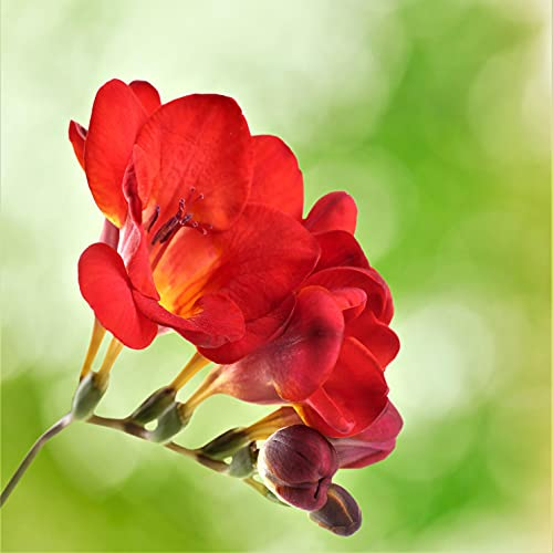 Bulbos de Fresias,Las Flores EstáN Floreciendo Al Aire Libre/Flores perfumadas de alta gama/Embellecer el patio-1,10bulbos