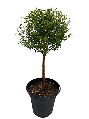 Myrtle topiary - Real live houseplant in a 6' plastic pot