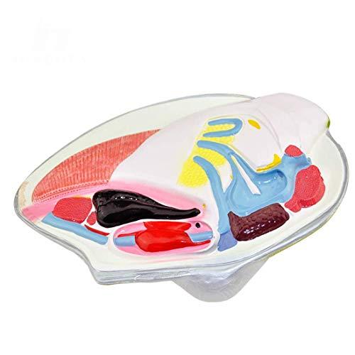 Modelo Educativo Modelo de mejillón de río Molusco anatóm