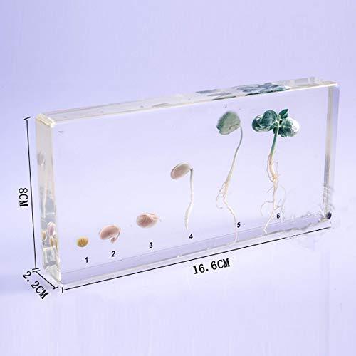 YAOHM Muestra de Proceso de germinación de Soja en Equipo Educativo Claro de Bloque de Lucita 16.6x8x2.2cm