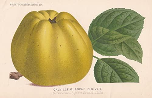 Calville Blanche d'Hiver - Weißer Winter-Calville Calville Blanc d'hiver apple Apfel Äpfel apples botanical Botanik Botany