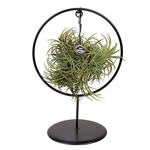 Pflanzen Kölle Tillandsia 'Silver Ball' in rundem Metallgestell, 17cm Ø