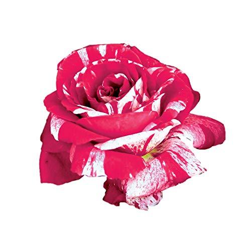 Scentimental®, rosaio vivo Rose Barni®, rosa profumata rossa striato di bianco, pianta rustica...