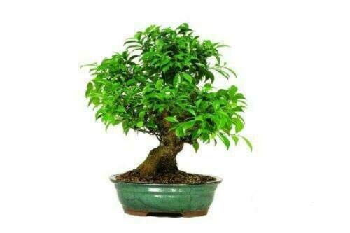 Tree Plant - Bonsai Golden Gate Ficus Tree Live Plant Indoor Office 15 Years Old - 18' to 22