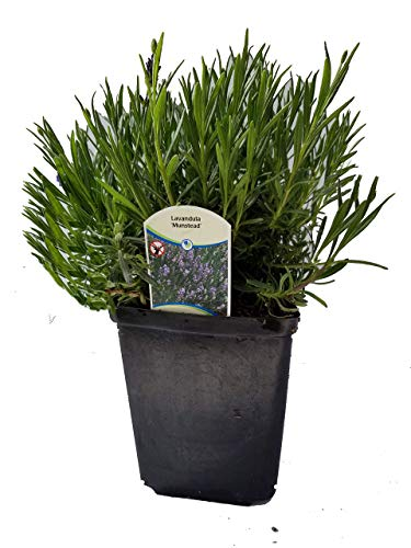 Findlavender Lavender Munstead Dark Purple Flowers (2.5QT Size Pot, Bee Friendly, Evergreen Plant , 1 Live Plant)