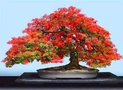 Elwyn 30pcs Delonix Regia Bonsai Tree Seeds