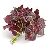 Semillas de shiso de perilla roja Más de 1000 hojas de sésamo Verduras sin transgénicos Hierba para el jardín de su casa Afuera Patio interior Plantación de frutos rojos de perilla