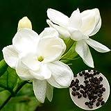 XQxiqi689sy 50 Unids/Bolsa Semillas De Jazmín Hermoso Olor Bien Decorado Jazmín Blanco Aromático Fragante Semillas De Jardín Semillas de jazmín