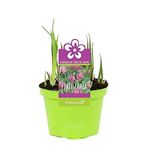 3x Fritillaria meleagris | Schachbrettblume Zwiebeln im Topf | Lila-weiße Blüten | Blumenzwiebeln Frühblüher | Höhe 14-17cm | Topf Ø 9cm