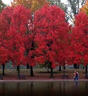Best maple tree kingdom Reviews