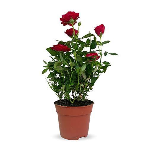 Rosal Mini Planta Natural con Maceta con Flores de Colores