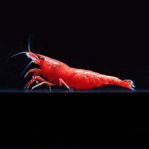 【BeeQuest】レッドファイヤーシュリンプ 極火蝦 10匹+補償1匹(飼料3品とフウの実1個付き)[生体]
