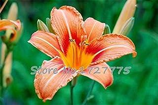AGROBITS Promociones Bonsai y plantas de colores bonsai cala raras Flores (no cala Bulbos) -100 plantas piezas de cala púrpura: