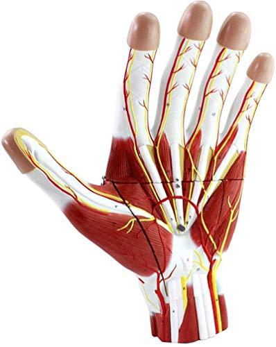 Modelo de anatomía, Modelo anatómico de mano con neurovascular - Modelo de mano humana magnífica 2x - Detectable 3 partes Anatómicas Modelo de mano humana Anatomía humana Modelos de ciencia para demos