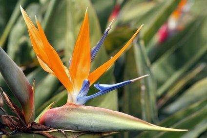 Strelitzia Reginae Paradiesvogelblume 5 Samen