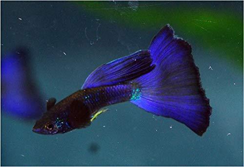 【熱帯魚・国産グッピー】 モスコブルー (ペア販売) ■サイズ:アダルト (1ペア)