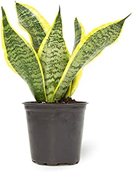 Plants for Pets Fully Rooted Indoor House Snake Plant