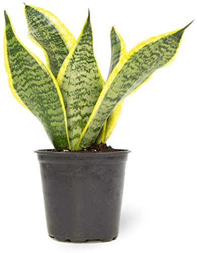 Live Snake Plant, Sansevieria trifasciata Superba, Fully Rooted Indoor House Plant in Pot, Mother in...