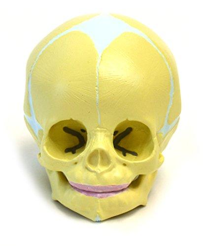 Human Fetus (Infant) Skull Anatomical Model, Life Sized, Hand Painted