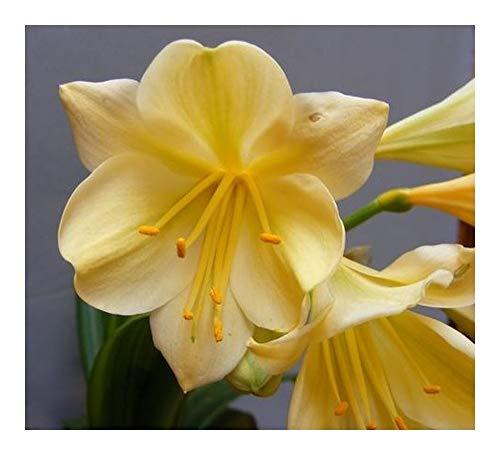 Clivia Vico Yellow Variegated - Clivia gelb - 1 Samen