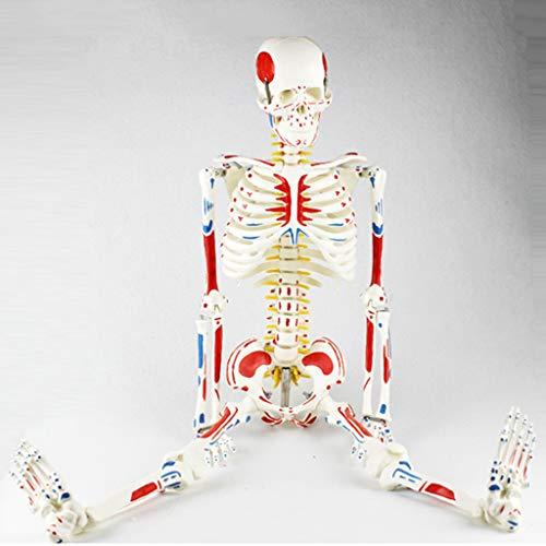 WJH 85cm Menschliches Skelett Modell mit Flexibler Wirbelsäule, Muskelansatz und Herkunft Punkte