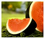 25 Sugar Baby Watermelon Seeds   Non-GMO   Fresh Garden Seeds