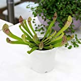 charm(チャーム) (食虫植物)サラセニア スカーレットベル 3号(1ポット)