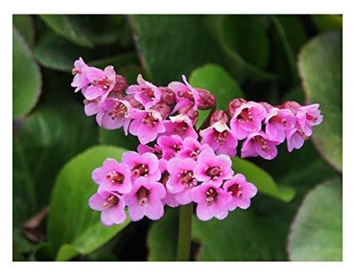 Stk - 6x Herzblättrige Bergenie (Bergenia) - Topf Garten Pflanzen K-P108 - Seeds Plants Shop Samenbank Pfullingen Patrik Ipsa