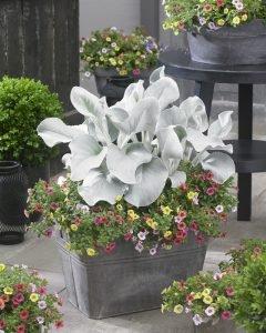 NIEUWHEIT zilverkleurige witte sierstaude - Senecio Angel Wings® - pot 2 liter