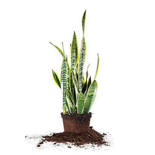 Perfect Plants Snake Plant Trifasciata 16in Tall | Easy Care Houseplant | Perfect for Low to Bright Light Conditions, 6 in Grower's Pot, Sansevieria Laurentii